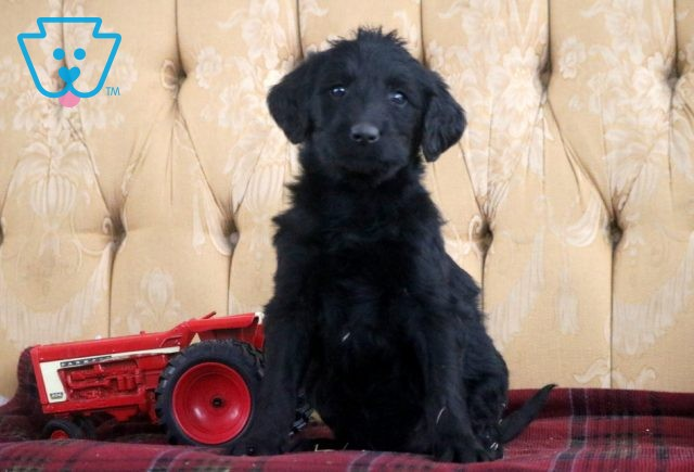 Bessy Labradoodle 1-001