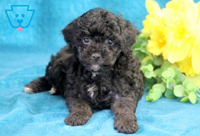 Breezie Mini Poodle 1-001