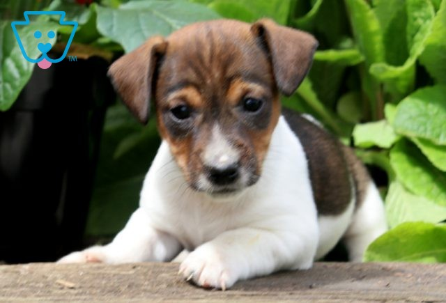 Chaz Jack Russell 1-001