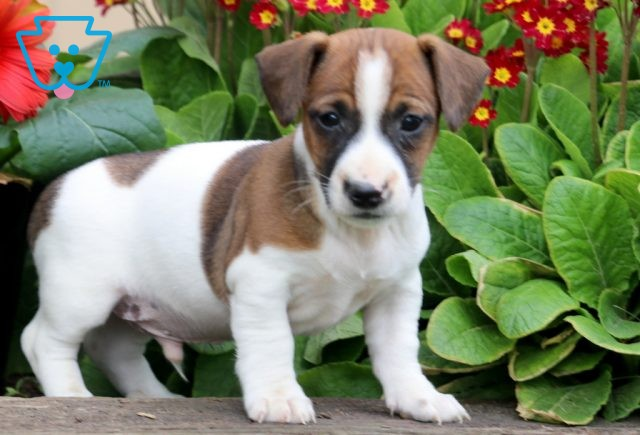 Chipper Jack Russell 1-001