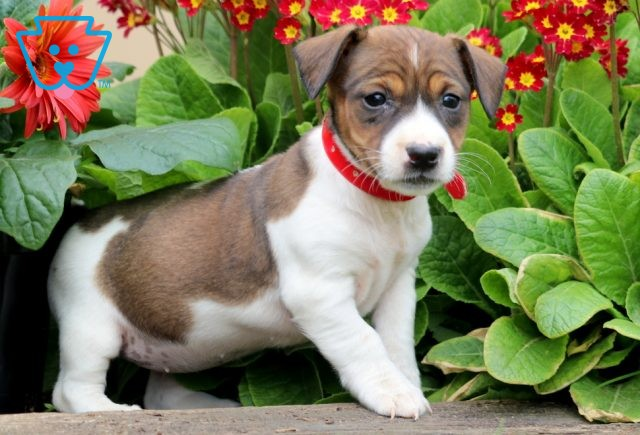 Claira Jack Russell 1-001