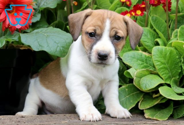 Cowboy Jack Russell 1-001