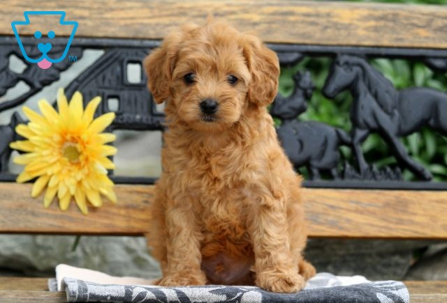 Isby Cavapoo