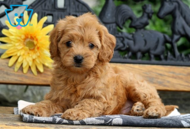Isby Cavapoo2