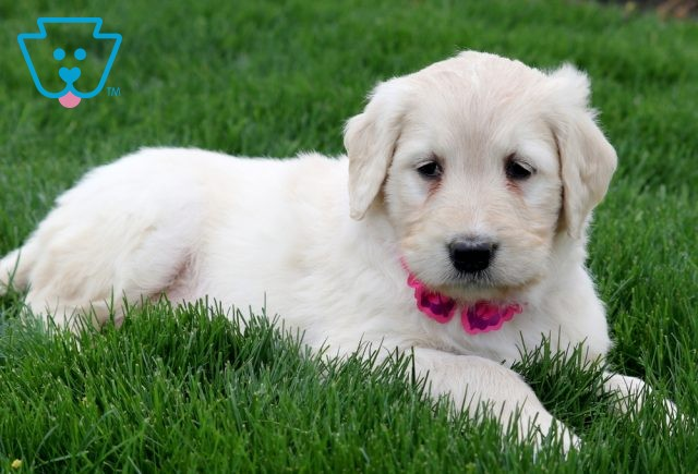 Lilly Goldendoodle 1-001