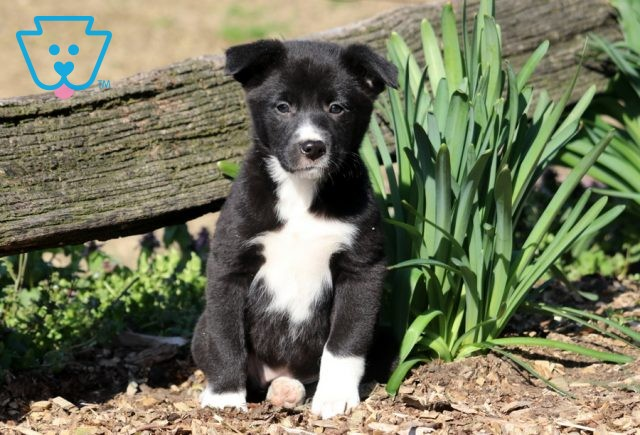 Mable Border Collie Mix