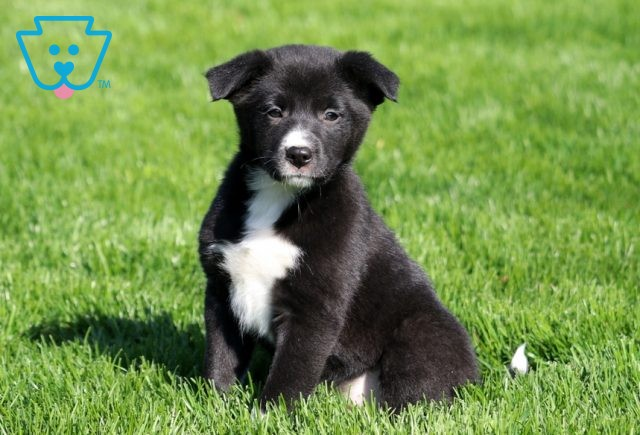 Mable Border Collie Mix2