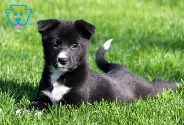 Mable Border Collie Mix3