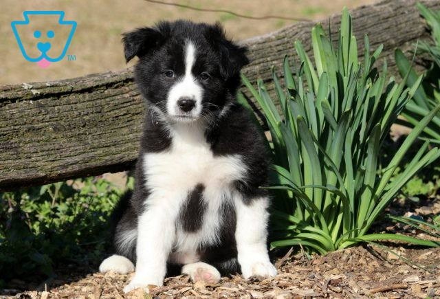May Border Collie Mix