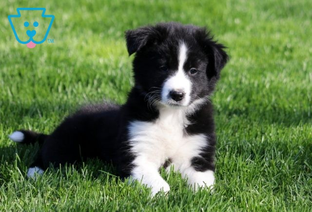 May Border Collie Mix2