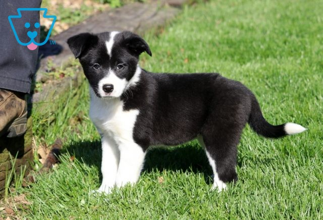 Meadow Border Collie Mix