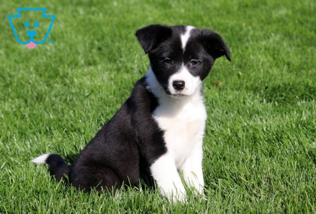 Meadow Border Collie Mix2