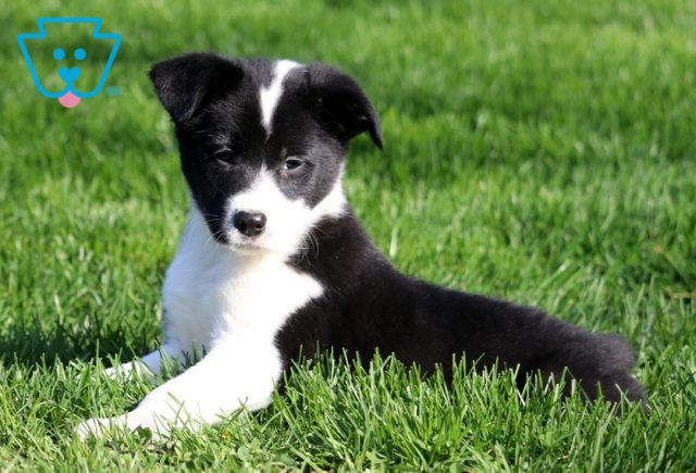 Meadow Border Collie Mix3