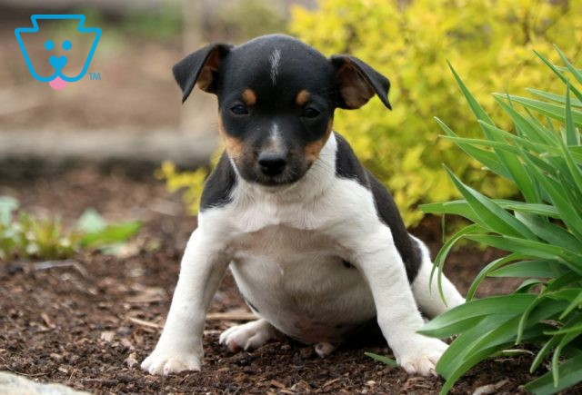 Panther Jack Russell