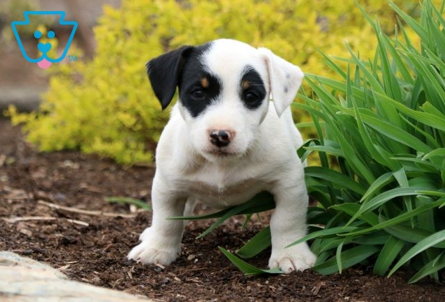 Parker Jack Russell