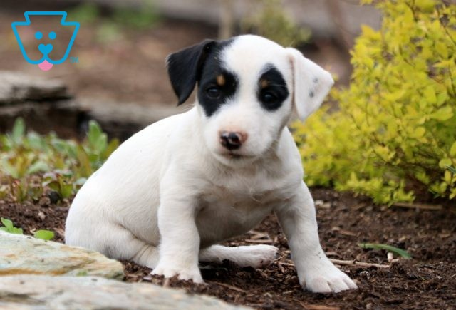 Parker Jack Russell2