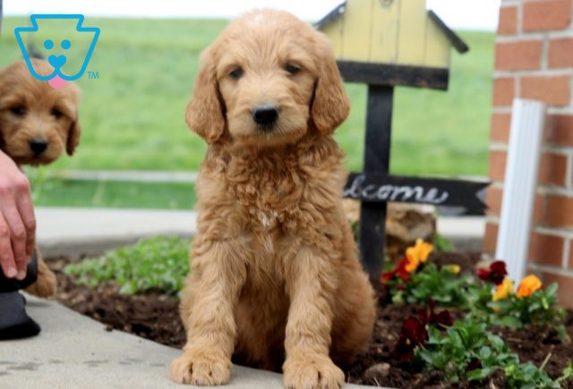 Paws Goldendoodle 1-001