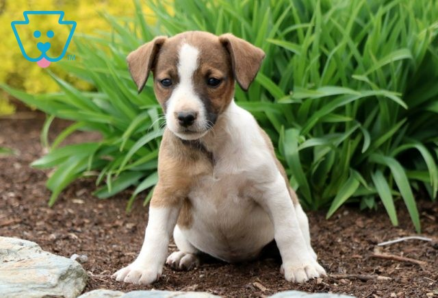 Penny Jack Russell