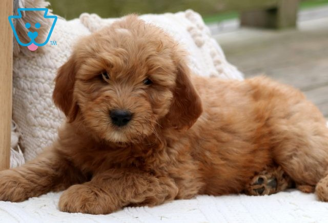 Willy Mini Goldendoodle