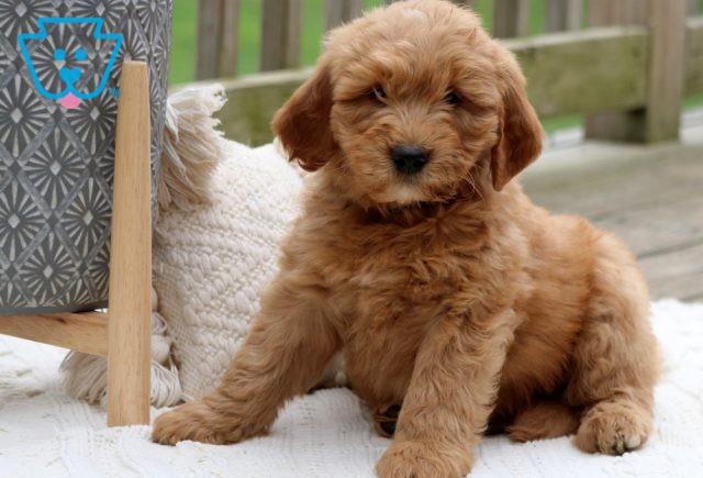 Willy Mini Goldendoodle2