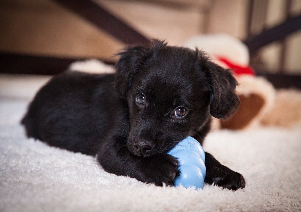 New puppy chewing on toy in house