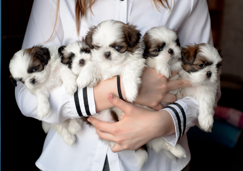Fluffy puppies for sale