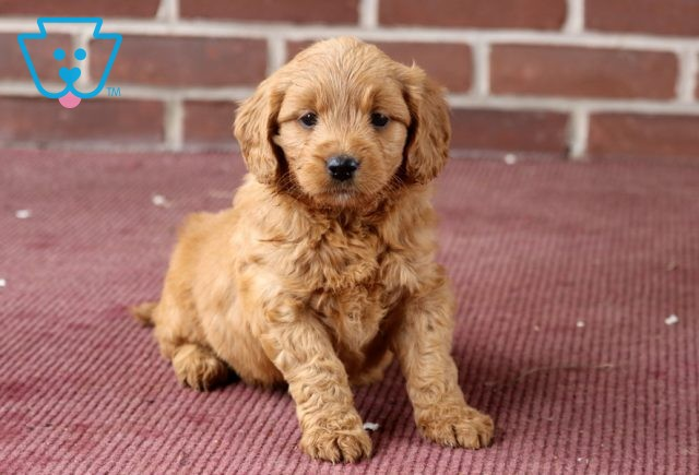 Ally Goldendoodle