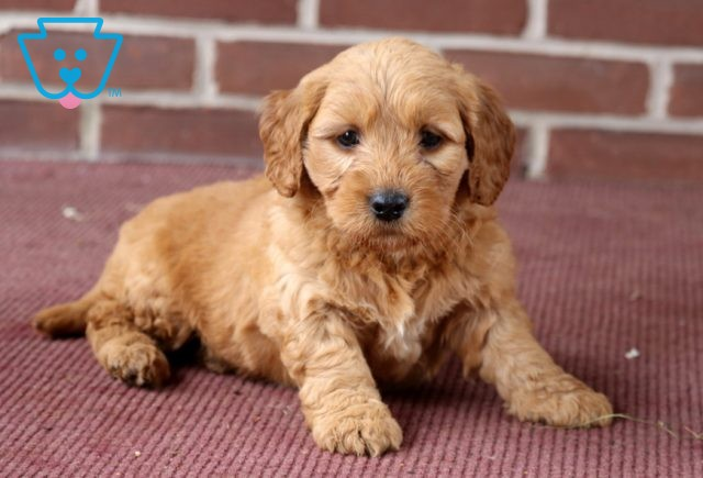 Andy Goldendoodle