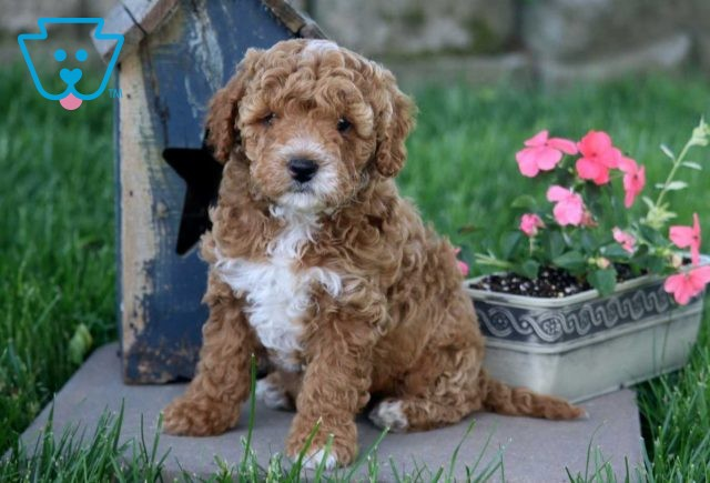 Milly Cockapoo