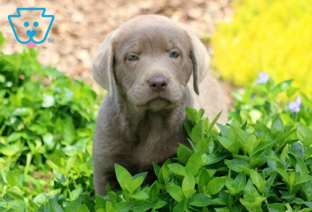 Snickers Silver Lab 1-001