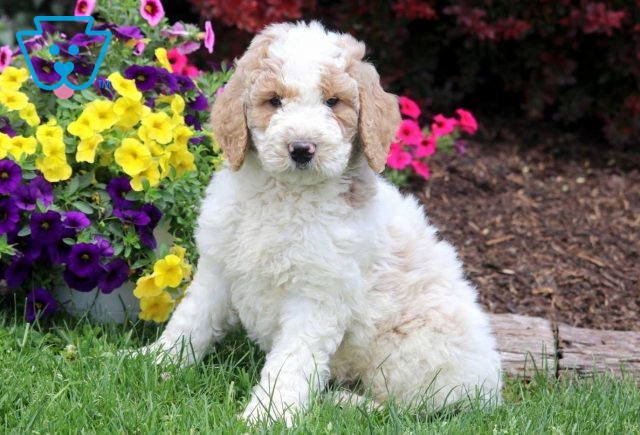 Timmy Goldendoodle