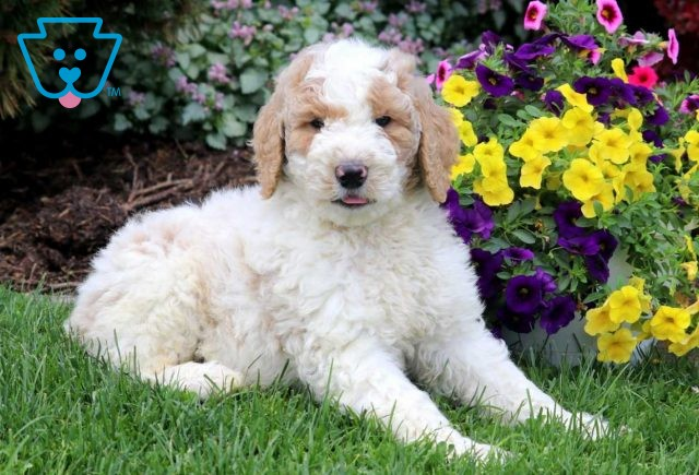 Timmy Goldendoodle2