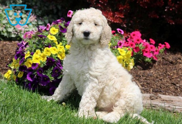Tinkerbell Goldendoodle