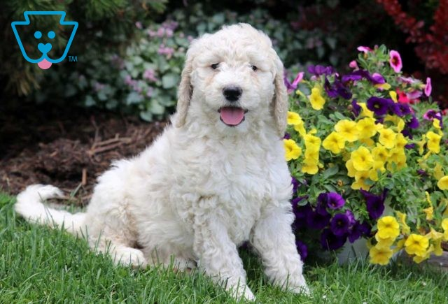 Tinkerbell Goldendoodle2