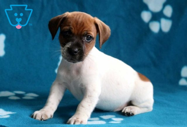 Alby Jack Russell