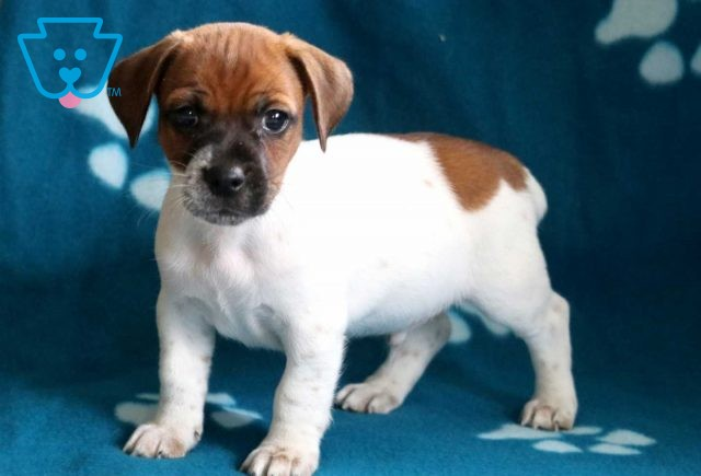 Alby Jack Russell2