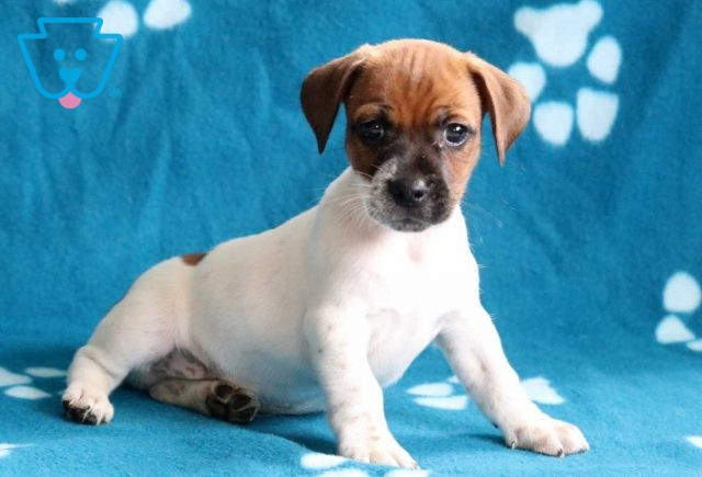 Alby Jack Russell3