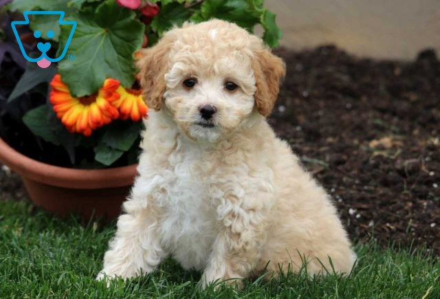 Best Buddy Toy Poodle