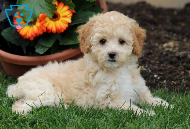 Best Buddy Toy Poodle2