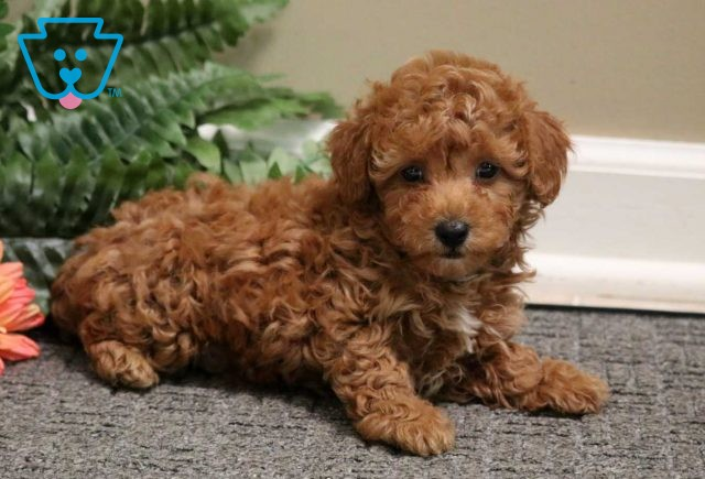 Bounce Toy Poodle