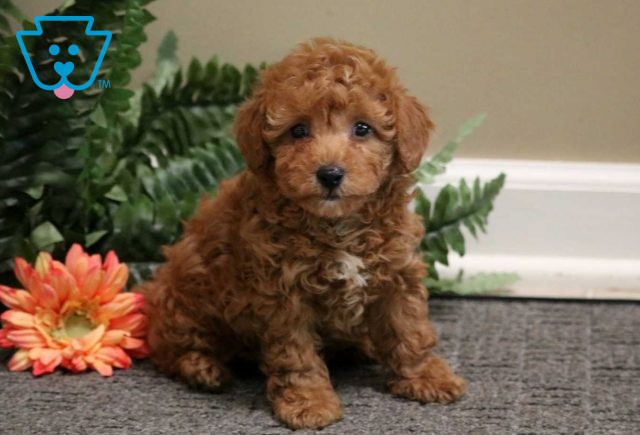 Bounce Toy Poodle2