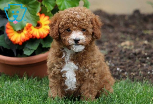 Bouncer Toy Poodle