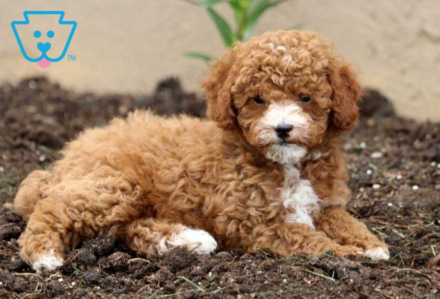 Bouncer Toy Poodle2