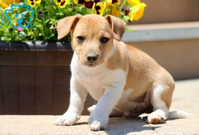 Candy Jack Russell 1-001