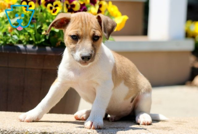 Cookie Jack Russell 1-001