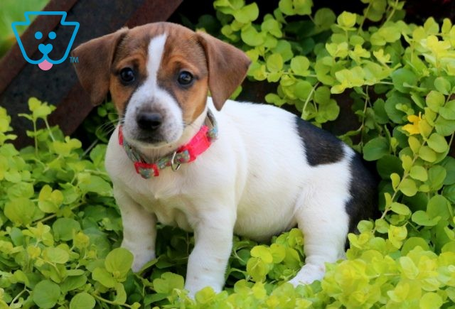 Fifi Jack Russell 1-001