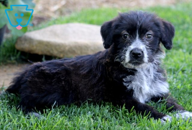 Lucky Poodle Mix2