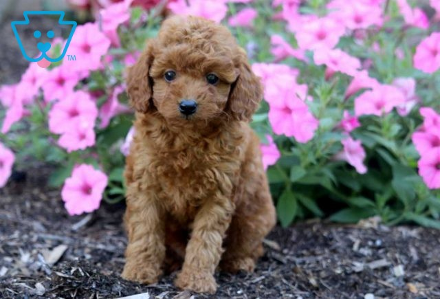 Maxy Toy Goldendoodle