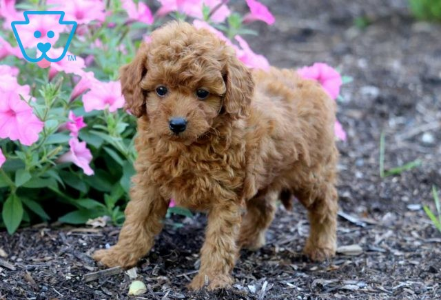 Maxy Toy Goldendoodle2