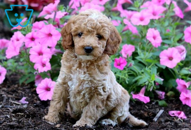 May Toy Goldendoodle